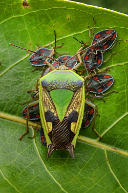 Giant Shield Bug (Lyramorpha cf. maculifer) female exhibiting maternal care of her young nymphs, Ndundu, Indonesia  -  Ch'ien Lee
