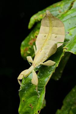 Leaf Insect (Phyllium sp) juvenile, Gembundo, Gunung Kembu, Indonesia  -  Ch'ien Lee