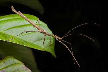 Phasmid (Centrophasma longipennis) male, Danum Valley Conservation Area, Borneo, Malaysia  -  Ch'ien Lee