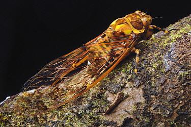 Cicada (Cicadoidea), Malaysia  -  Ch'ien Lee