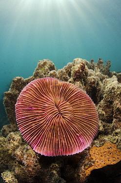 Mushroom Coral (Fungia scutaria), Fiji  -  Pete Oxford