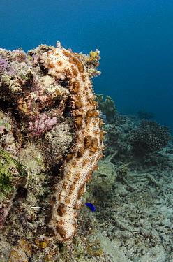 Sea Cucumber (Bohadschia graeffei) on coral reef, Fiji  -  Pete Oxford