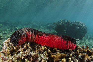 Pink and Black Sea Cucumber (Holothuria edulis), Fiji  -  Pete Oxford