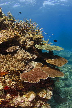 Hard corals on Rainbow Reef, Fiji  -  Pete Oxford