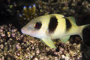 Doublebar Goatfish (Parupeneus crassilabris), Rainbow Reef, Fiji  -  Pete Oxford