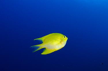 Yellow Damsel (Pomacentrus moluccensis), Rainbow Reef, Fiji  -  Pete Oxford