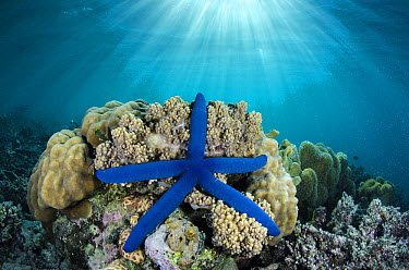 Blue Sea Star (Linckia laevigata), Fiji  -  Pete Oxford