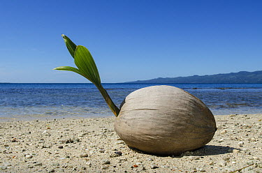 Coconut Palm (Cocos nucifera), Fiji  -  Pete Oxford