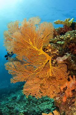Gorgonian Sea Fan (Gorgonia sp), Rainbow Reef, Fiji  -  Pete Oxford
