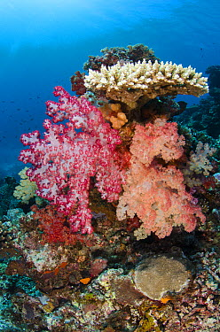 Soft Coral (Dendronephthya sp) and hard corals, Rainbow Reef, Fiji  -  Pete Oxford