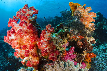 Soft Coral (Dendronephthya sp), Rainbow Reef, Fiji  -  Pete Oxford