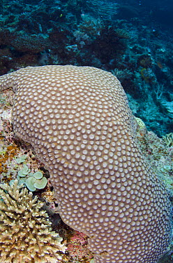 Stony Coral (Scleractinia), Fiji  -  Pete Oxford