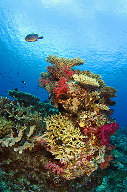 Various hard and soft corals, Rainbow Reef, Fiji  -  Pete Oxford