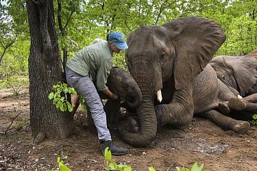 African Elephant (Loxodonta africana) herd tranquilized by capture team, Zimbabwe  -  Pete Oxford