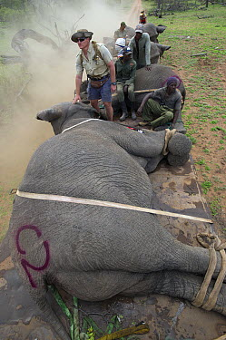 African Elephant (Loxodonta africana) tranquilized and being moved by capture team using a crane, Zimbabwe  -  Pete Oxford