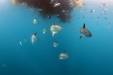 Ocean Sunfish (Mola mola) group gather under floating kelp paddy, Nine Mile Bank, San Diego, California  -  Richard Herrmann