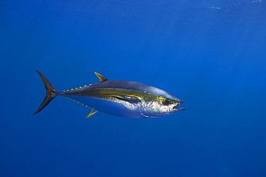 Yellowfin Tuna (Thunnus albacares), Nine Mile Bank, San Diego, California  -  Richard Herrmann