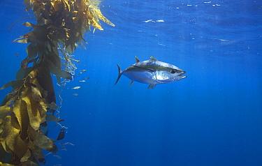 Yellowfin Tuna (Thunnus albacares) and juvenile California Yellowtail (Seriola lalandi) near kelp paddy, Nine Mile Bank, San Diego, California  -  Richard Herrmann