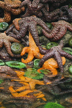 Ochre Sea Star (Pisaster ochraceus) group in tidepool, Shi Shi Beach, Olympic National Park, Washington  -  Kevin Schafer