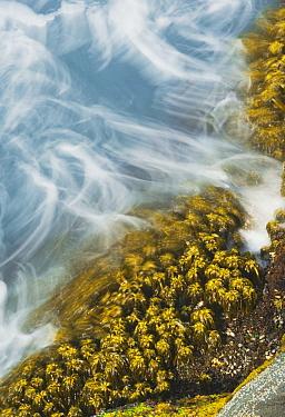 Sea Palm (Postelsia palmaeformis) in surf, Cape Flattery, Olympic Peninsula, Washington  -  Kevin Schafer