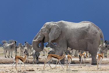 African Elephant (Loxodonta africana) group, Zebra (Equus sp) and Thomson's Gazelle (Eudorcas thomsoni) sharing a waterhole, Nxai Pan National Park, Botswana  -  Vincent Grafhorst