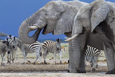 African Elephant (Loxodonta africana) pair of bulls at water hole, Nxai Pan National Park, Botswana  -  Vincent Grafhorst