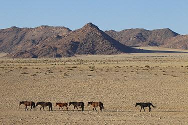 Namib Desert Horse (Equus caballus) herd walking in single file, Namib Desert, Namibia  -  Vincent Grafhorst