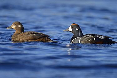 Harlequin Duck (Histrionicus histrionicus) pair swimming, River Laxa, Skaftafell National Park, Iceland  -  Winfried Wisniewski