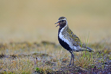 Golden Plover (Pluvialis apricaria) calling in tundra vegetation, Snaefellsnes Peninsula, Iceland  -  Winfried Wisniewski