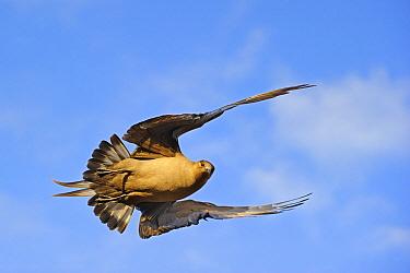 Arctic Skua (Stercorarius parasiticus) dark morph flying, Flatanger, Norway  -  Winfried Wisniewski