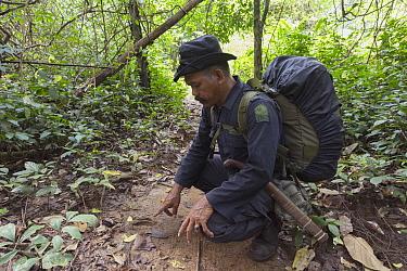 Javan Rhinoceros (Rhinoceros sondaicus) foot print being examined by Rhino Protection Unit Ranger, Ujung Kulon National Park, Indonesia  -  Stephen Belcher