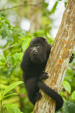 Mexican Black Howler Monkey (Alouatta pigra) in tree, Community Baboon Sanctuary, Belize  -  Kevin Schafer