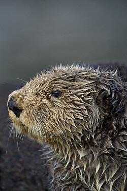 Sea Otter (Enhydra lutris), Alaska  -  Michael Quinton