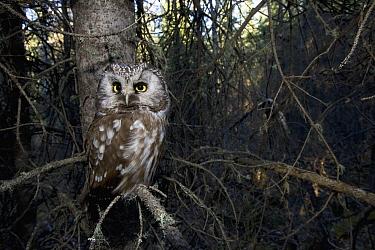 Boreal Owl (Aegolius funereus) in tree, Alaska  -  Michael Quinton