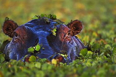 Hippopotamus (Hippopotamus amphibius) in Common Water Hyacinth (Eichhornia crassipes), Masai Mara, Kenya  -  Anup Shah