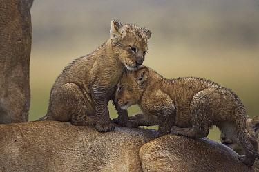 African Lion (Panthera leo) female with playful muddy one month old cubs, Masai Mara, Kenya  -  Anup Shah
