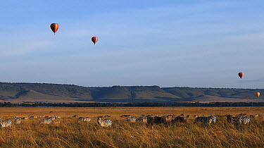 Blue Wildebeest (Connochaetes taurinus) and Burchell's Zebra (Equus burchellii) herd watched by tourists in hot air balloons, Mara River, Masai Mara, Kenya  -  Anup Shah