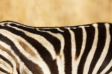 Burchell's Zebra (Equus burchellii) stripes, Rietvlei Nature Reserve, Gauteng, South Africa  -  Richard Du Toit