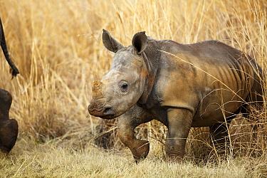 White Rhinoceros (Ceratotherium simum) calf, Rietvlei Nature Reserve, Gauteng, South Africa  -  Richard Du Toit