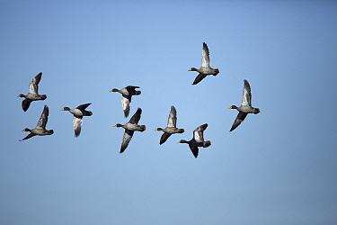 Yellow-billed Duck (Anas undulata) flock flying, Rietvlei Nature Reserve, Gauteng, South Africa  -  Richard Du Toit