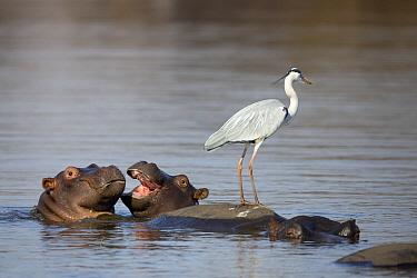 Grey Heron (Ardea cinerea) standing on Hippopotamus (Hippopotamus amphibius) to catch passing fish, Kruger National Park, South Africa  -  Richard Du Toit