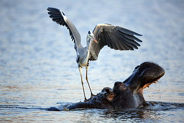 Grey Heron (Ardea cinerea) standing on Hippopotamus (Hippopotamus amphibius) to catch passing fish disrupted when hippo yawns, Kruger National Park, South Africa  -  Richard Du Toit