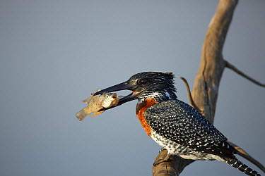 Giant Kingfisher (Megaceryle maxima) with fish prey, Kruger National Park, South Africa  -  Richard Du Toit