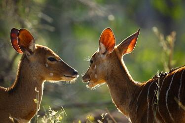 Nyala (Tragelaphus angasii) mother and calf, Kruger National Park, South Africa  -  Richard Du Toit