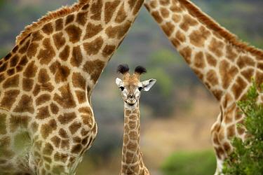 South African Giraffe (Giraffa giraffa giraffa) parents and calf, KwaZulu-Natal, South Africa  -  Richard Du Toit