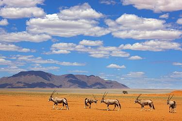 Oryx (Oryx gazella) group crossing desert, NamibRand Nature Reserve, Namibia  -  Theo Allofs