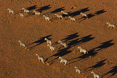 Burchell's Zebra (Equus burchellii) herd running in desert, NamibRand Nature Reserve, Namibia  -  Theo Allofs