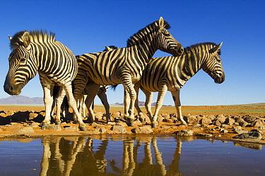 Burchell's Zebra (Equus burchellii) group at waterhole, NamibRand Nature Reserve, Namibia  -  Theo Allofs