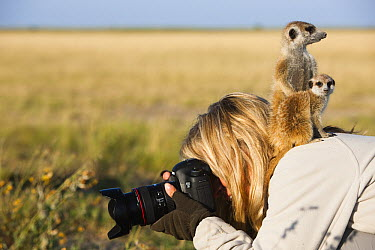 Meerkat (Suricata suricatta) parent and young using photographer as vantage point, Makgadikgadi Pan, Kalahari, Botswana  -  Theo Allofs