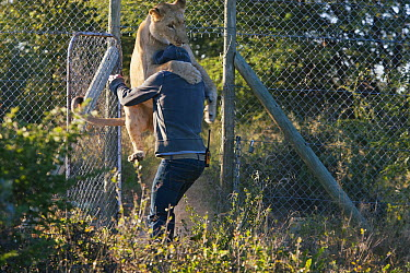 African Lion (Panthera leo) female named Sirga embracing Valentin Gruener, who raised her from when she was a cub, Kalahari, Botswana  -  Theo Allofs